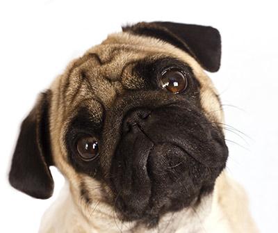 sad-pug2