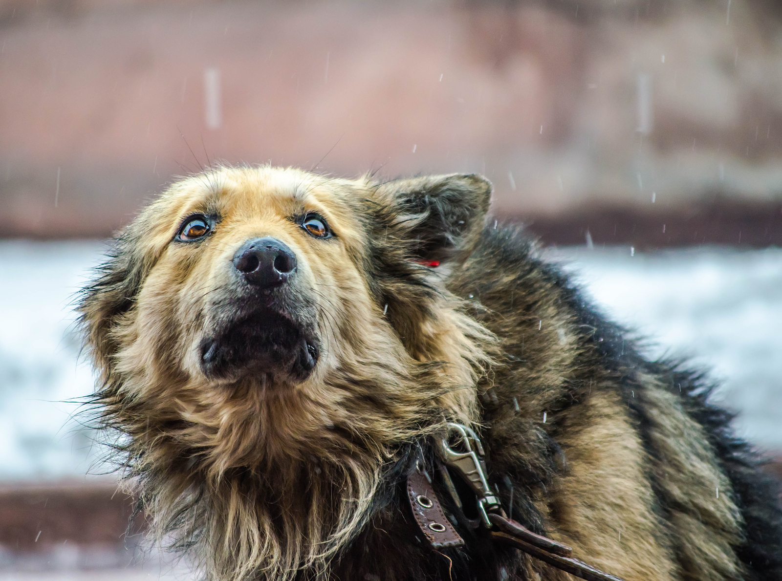 in the rain a fluffy large dog in a collar with a leash looks in fear up pressing his ears