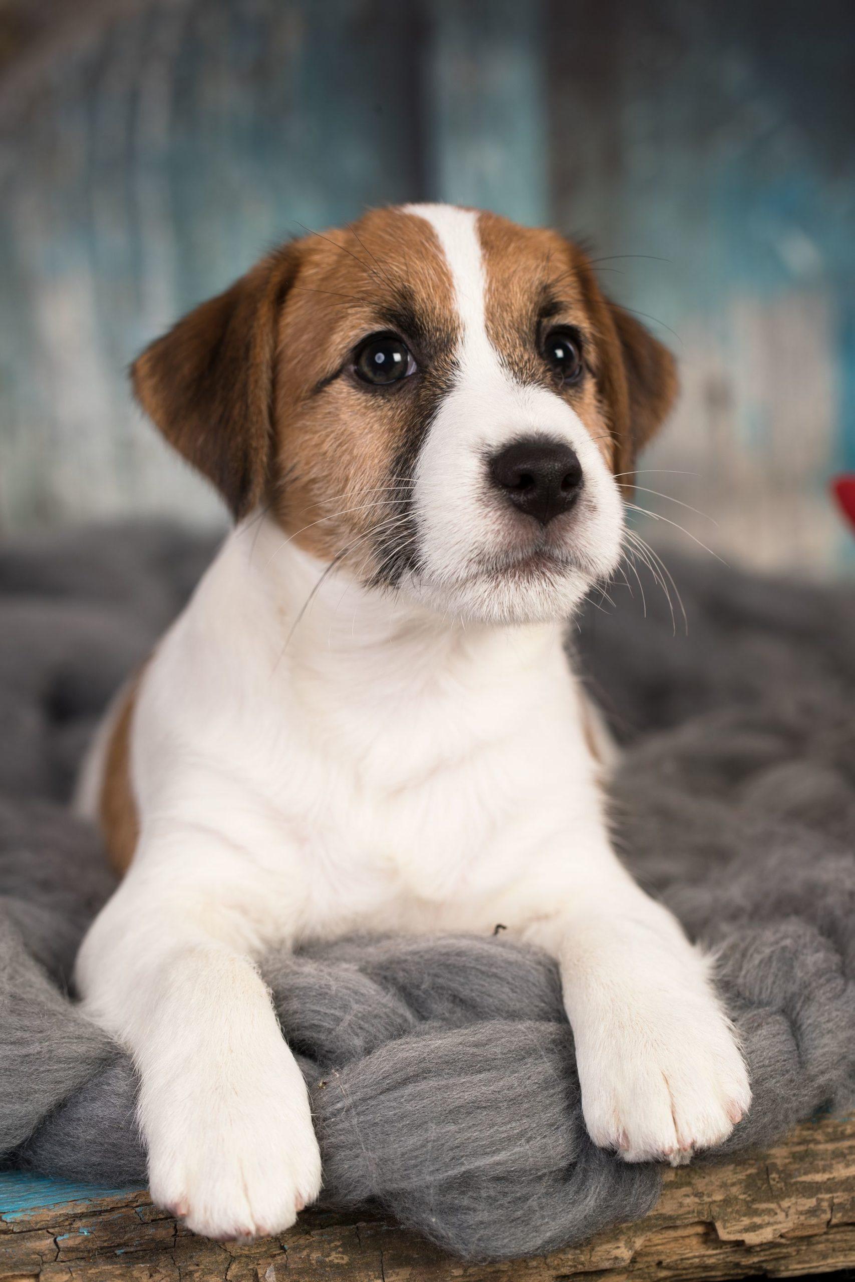 bigstock-Puppy-breed-Jack-Russell-Terri-316840525-compressor